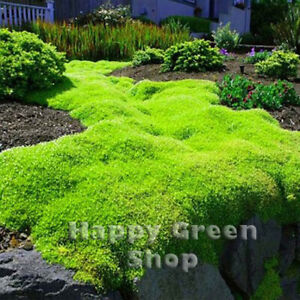 IRISH MOSS - 300 seeds -  Sagina subulata - Heath Pearlwort Lawn - Perennial