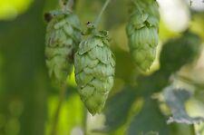 50 semillas verdadero lúpulo (Humulus lupulus)