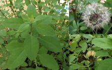 Bolivian coriander, Quillqina, Porophyllum ruderale, 50+ seeds