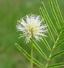 100 ILLINOIS BUNDLEFLOWER Prairie Mimosa Desmanthus Illinoensis Flower Seeds
