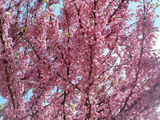 20 REDBUD TREE Cercis Canadensis Seeds +Gift & Comb S/H
