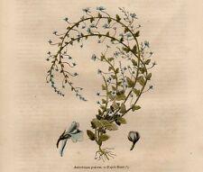Stampa antica botanica fiori ANTIRRHINUM GRAECUM 1856 Old print flower