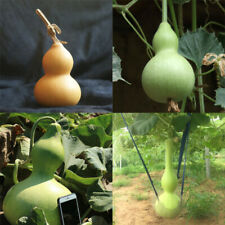 Small Gourd Seed garden vine Plant balcony potted easy grow