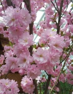 "4 Fresh cuttings of Japanese Sakura Cherry Blossom Tree, 6-8"", no roots"