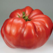 Crimson Giant Tomato Seeds! RARE HUGE  HEIRLOOM! COMB. S/H SEE OUR STORE