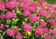50Pc Seeds Spiraea Meadowsweet Flowers Shrubs Rare Beautiful Kinds Garden Plants