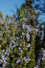 Rosemary Tuscan Blue in 50mm forestry tube perennial plant