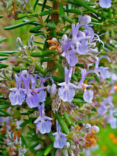 ROSEMARY ROMAN BEAUTY IN 50MM FORESTRY TUBE PERENNIAL PLANT