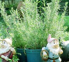 Summer Savory Seed 50 Seeds Satureia Hortensis Vernal Grass Aromatic Plants D034
