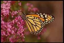 052073 Monarch A4 Photo Print