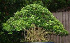 Ficus altissima braucht nur die Hälfte des Lichtes eines Ficus benjaminus /Samen