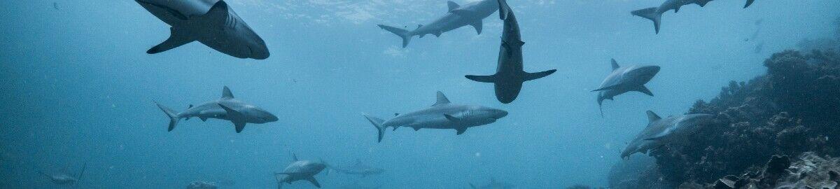 Reef Shark Jaws and Teeth
