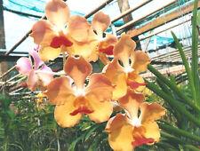 Orchid - Vanda Joladda Dok Dee …. Stock #285-7