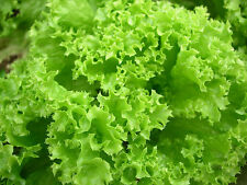 Seeds Salad Lettuce Odesskiy Kucherya Vegetable Organic Heirloom Russian Ukraine