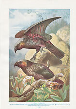 1910 NATURAL HISTORY DOUBLE SIDED PRINT ~ KAKA PARROTS / LEADBEATERS COCKATOOS