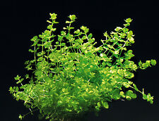 Bunched Baby Tears Live Aquarium Plant Hemianthus micranthemoides