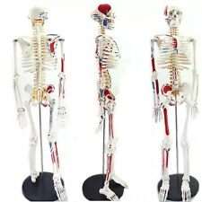 4D Puzzle 85cm HUMAN SKELETON MODEL MEDICAL SIMULATION HUMAN ANATOMY 46 PARTS