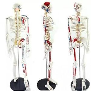 4D Puzzle 85cm HUMAN SKELETON MODEL MEDICAL SIMULATION HUMAN ANATOMY 46 PARTS