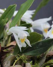Bulbophyllum Sp Mini Cool Bulbs
