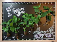 FIG TREE COLLECTION: Celeste, Brown Turkey, Kadota, Ischia, Yellow Longneck, etc