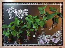 FIG TREE COLLECTION: Celeste, Brown Turkey, Kadota, Ischia, Magnolia, TX Ever.