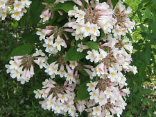 BEAUTY BUSH      SHRUB   *  5 SEEDS!