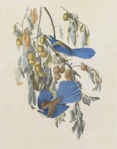 John James Audubon Florida Jay Canvas Print 16 x 20   #3849