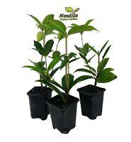 ( 3 ) - Fragrant Tea Olive ( osmanthus ) - Live Plant - 3 Inch Pot ( Pack of 3 )