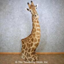 #14390 Wc | Stunning African Giraffe Taxidermy Pedestal Mount For Sale
