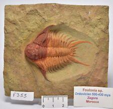 TRILOBITE FOSSIL, Foulonia specimen, Ordovician 430-500 myo, Morocco (F355)