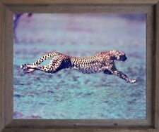 "Running Cheetah ""Spotted Wind"" Wildlife Animal Barnwood Framed Wall Art Picture"