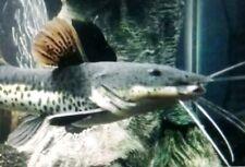 Red Tail Catfish Tiger Shovelnose Catfish hybrid - 3 to 4.5 inch Rare.