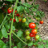 Tomato SWEET PEA CURRANT 25 Heirloom, Non-gmo Seeds Free Shipping
