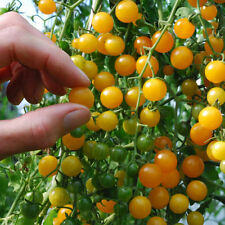 "10 "" GOLD RUSH Tomaten gelbe  Wildtomate  MINI Massenträger   Samen  Tomaten"
