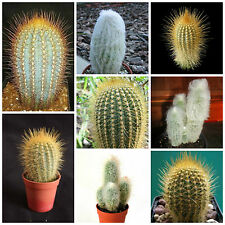 Sukkulenten,seeds succulents,G 10 Samen der Austrocephalocereus dybowskii