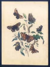 Schöne Schmetterlinge-Falter-Insekten-Pflanzen-Entomologie - Lithographie 1840