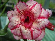 Adenium Obesum Desert Rose - CX Laithai - Perennial Bonsai Seeds (5)