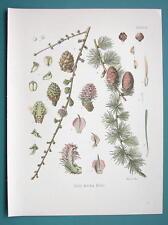 LARCH TREE Medicinal Larix Decidua - Beautiful COLOR Botanical Print