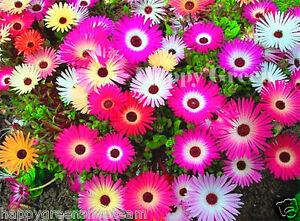LIVINGSTONE DAISY MESEMBRYANTHEMUM MIX 1700 seeds - Dorotheanthus ANNUAL FLOWER