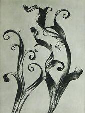 BLOSSFELDT: Urformen Der Kunst: Delphinium, 1928 / Plate 45 Vintage Photogravure