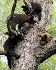 Black Bears Cubs 8x10 Wildlife James Jones Photography Print Picture