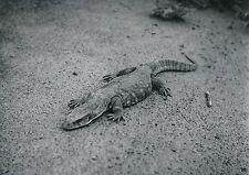 NIGER c. 1940 -  Iguane - P 1323