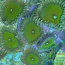 "New listing Saf~ ""Wysiwyg� Nuclear Death Palythoa Coral Frag, Zoa, paly, Marine, colony"