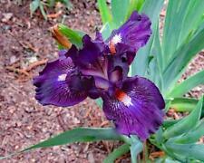 "1- rhizome, Dwarf Bearded Iris, ""Purple Tiger"" flowering perennials"