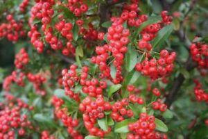 Firethorn - Pyracantha coccinea - 25+ seeds - Semillas - Graines - Samen