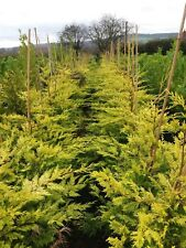 'Gold Ryder' Hedging Plants x 3.  Chamaecyparis H:150-170CM. FREE DELIVERY