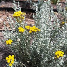 350 graines Helichrysum-Mélange Eternity