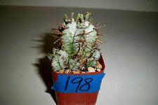 # 198 - Euphorbia Horrida Hybrid