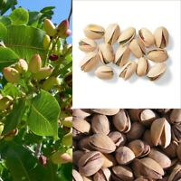 5Pcs Nut tree Pistachios Seeds Pistacia Rare Viable Nut Tree Seeds Big Harvest