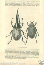 Scarabée Dynaste Hercules beetle Male Femelle Insects GRAVURE ANTIQUE PRINT 1860